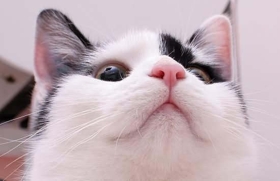 从猫鼻子观察 了解猫咪健康状况